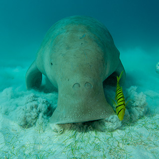 Dugong front view eating sea grass